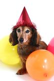 Birthday dog. With somber expression. Part of a series of holiday pictures featuring the same dog. (Studio shot stock image