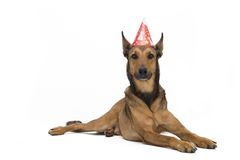 Birthday Dog. Belgian Sheepdog (Malinois) is ready for a birthday party Royalty Free Stock Image