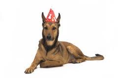 Birthday Dog. Belgian Sheepdog (Malinois) is ready for a birthday party Stock Photos
