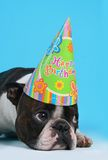 Birthday dog. Boston terrier with a birthday hat on Royalty Free Stock Images
