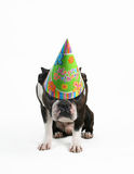 Birthday dog. A boston terrier with a birthday hat on Royalty Free Stock Photos