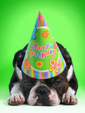 Birthday dog. Boston terrier with a birthday party hat on Stock Image