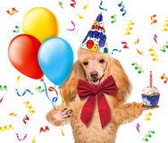 Birthday dog with balloons and a cupcake. Royalty Free Stock Photo