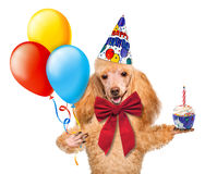 Birthday dog with balloons and a cupcake. Stock Photography