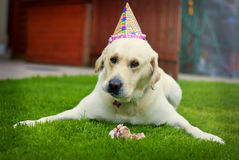Birthday Dog. Beautiful labrador with big bone in the garden celebrating his birthday Royalty Free Stock Images