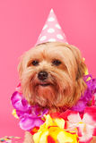 Birthday dog Royalty Free Stock Images
