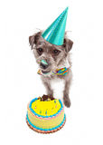Birthday Dog Eating Cake Royalty Free Stock Images