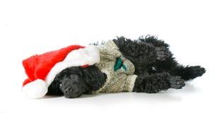 Birthday dog. English bulldog wearing happy birthday hat - 2 year old brindle male Stock Photography