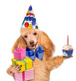 Birthday dog with presents and cake. Stock Photography