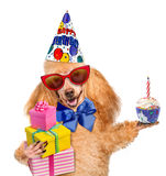 Birthday dog with presents and cake. Stock Photos