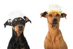 Birthday dogs Royalty Free Stock Photos