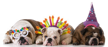 Birthday dogs. Three english bulldogs on white background Royalty Free Stock Photos