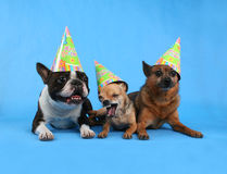 Birthday friends. Three dogs with birthday hats on Stock Image