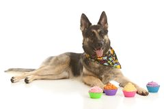 Birthday Girl. Adorable german shepherd dog lying on the ground next to a helium filled birthday balloon and four cupcakes. on white with room for your text stock image