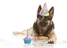 Birthday Girl. Adorable german shepherd wearing a party hat and lying next to a cupcake with a candle - confetti spread all over the ground. Isolated on white stock images