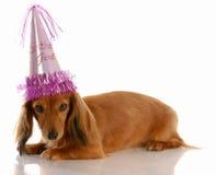 Birthday girl dog. Miniature long haired dachshund dog wearing birthday girl hat stock photo