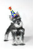 Birthday Hat Wearing Miniature Schnauzer Puppy Dog on White. Birthday Celebrating Baby Miniature Schnauzer Puppy Dog on White royalty free stock photography