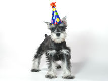 Birthday Hat Wearing Miniature Schnauzer Puppy Dog on White Stock Image