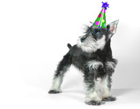 Birthday Hat Wearing Miniature Schnauzer Puppy Dog on White stock photos