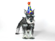 Birthday Hat Wearing Miniature Schnauzer Puppy Dog on White Stock Images