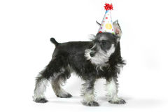 Birthday Hat Wearing Miniature Schnauzer Puppy Dog on White Stock Photo