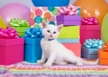 Birthday kitten. One fluffy white blue eyed kitten laying down playing in front of a pile of brightly colored birthday presents and balloons Royalty Free Stock Photo