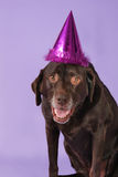 Birthday lab Royalty Free Stock Images