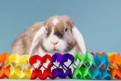 Birthday mini-lop rabbit Stock Images
