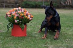 Birthday present. Nice lovely dog doberman gift present flowers Royalty Free Stock Photography