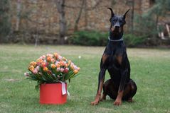 Birthday present. Nice lovely dog doberman gift present flowers stock photography