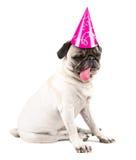 Birthday pug Stock Image