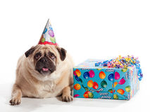 Birthday Pug Royalty Free Stock Photography