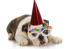 Birthday puppy Stock Photography
