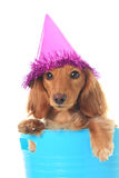 Birthday puppy. Cute puppy wearing a party hat Royalty Free Stock Image