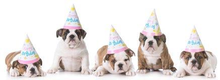 Birthday puppy litter. Litter of english bulldogs wearing birthday hats on white background Stock Image