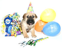 Birthday Shar pei. Wearing a bithday hat standing with a gift bag and balloons, on a white background Royalty Free Stock Images