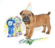 Birthday Shar pei Stock Photography