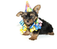 Birthday Yorkie Puppy Royalty Free Stock Photography