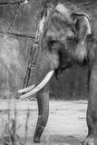 Bis male elephant leader of mob with two tusks black white. Bis male elephant leader of mob with two tusks black royalty free stock images