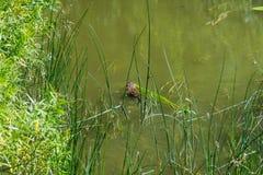 Bisam & x28; Vatten Rat& x29; Arkivfoto