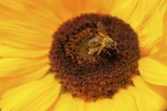 Bisammanträde på den gula blomman Honungbiet samlar pollen på blomman royaltyfri fotografi
