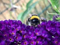 Bisammanträde på en purpurfärgad blomma royaltyfri fotografi