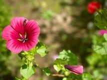 bisammanträde på en rosa blomma arkivbild