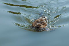 Bisamråttan eller mysk-tjaller att sväva på vattnet i sjön Royaltyfria Foton