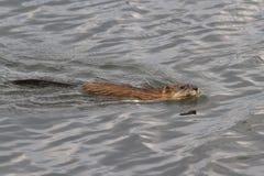 Bisamratte, die auf den See mit einem Stiel des Stocks schwimmt Stockbild
