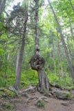 Bisarr tillväxt på ett björkträd Royaltyfri Foto