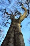 Bisarrt spökat träd Arkivbild