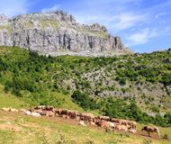 Bisaurin peak Pyrenees cow cattle on valley Royalty Free Stock Photo