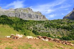 Bisaurin peak Pyrenees cow cattle on valley Stock Image
