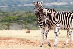 Bisbiglio in vostro orecchio - la zebra di Burchell Fotografia Stock